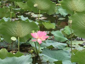 Lotus flower Hongcun Village, China
